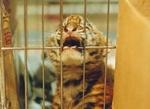 Дикие тигры и медведи в центре Санкт-Петербурга выйдут на                      защиту своих собратьев - узников цирка