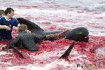 «Морской пастух» против бойни дельфинов на Фарерских островах
