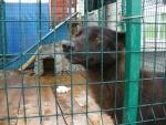 Канадский волк спасён в Санкт-Петербурге