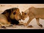 Американский дантист убил символ Зимбабве - льва Сесила. Лев умирал 40 часов