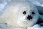 Российская интеллигенция обращается к Путину в преддверии                бойни детенышей тюленя