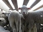 Жестокость производства шерсти