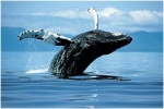 Войны за китов Морского Пастуха - фильм Планеты животных