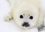 15 марта - Международный День защиты детёныша тюленя