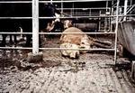 Высокая цена мяса