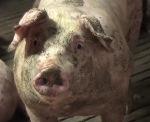 Чудовищная ситуация на эстонских свинофабриках (тайное расследование)