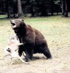 Цирковая медведица Маша в новом для себя амплуа - подсадного зверя. Фото: ИТАР-ТАСС
