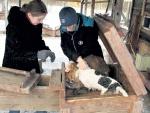 Норных собак запускают в замкнутый тоннель следом за енотом или лисицей