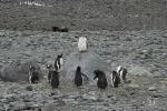 Обнажённая Антарктида. Совет пингвинов
