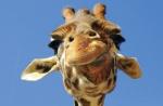 Как зоопарки избавляются от лишних животных