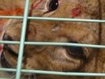 Искалеченного львёнка циркачи, представившиеся труппой Запашного, продали за ненадобностью в Москву