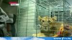 Циркачи из Санкт-Петербурга покалечили 5-месячного львенка, а затем продали