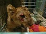 Искалеченного львёнка циркачи, представившиеся труппой Запашного, продали за ненадобностью в Москву. Расследование Виты