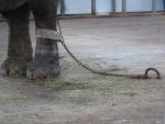 Прокуратура потребовала снять цепи со слонихи в Старооскольском зоопарке