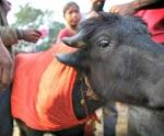 Победа! Конец кровавым жертвоприношениям на Непальском фестивале! Спасено более полумиллиона животных!