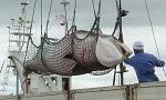 >Австралийский суд оштрафовал японскую китобойную компанию на 1 миллион долларов за преднамеренные нарушения