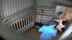 >Пытки животных на бойнях ведущего производителя мяса в Европе (ВИДЕО)