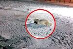 ВИТА об убийстве<br> белой медведицы <br>на острове Врангеля