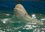Калининград против переездного дельфинария