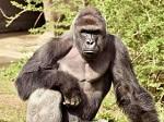 Горилла Харамбе: хуже смерти для него была лишь жизнь в зоопарке