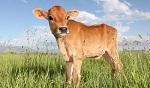 >Фермер отказался от скотобойни ради выращивания овощей
