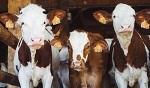 >Около половины американцев хотят запретить скотобойни