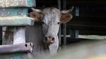 >Во Франции открылся первый процесс о жестоком обращении с животными на скотобойнях | ВИДЕО