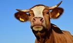 >ООН просят нацелить фокус переговоров по климату на коров