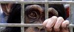 >Эпоха экспериментов на шимпанзе официально окончена в США</a>