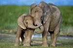 >Сегодня, 20 июня, Международный день в защиту слонов (ВИДЕО)