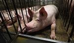 >Калифорния заявила о принятии строжайших в истории мер по защите животных. Что на деле