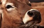 >Кевина Костнера разоблачили в глумлении над трупами коров на съемках его сериала