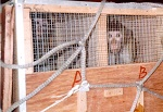 >Вивисекторы заявляют о дискриминации со стороны авиакомпаний, которые отказываются транспортировать обезьян в лаборатории  | ВИДЕО
