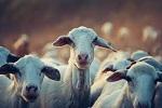 >Козы различают человеческие эмоции. Животные тянутся к добрым людям. От коз к скоту: новые исследования в области психологии животных снова доказывают необходимость признать права животных