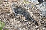 >Зачем в Австралии уничтожают два миллиона кошек? Комментарий ВИТЫ