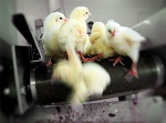 Птицефабрика - конвейер смерти