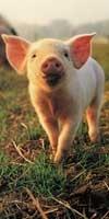 Свинина - это пытки и убийство животных