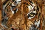Международный                      день тигра. Торговля тигрятами в России способствует нелегальному                      отлову исчезающих животных в мире