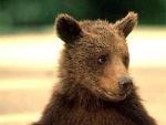 Убийцу                      медвежонка ожидает возмездие
